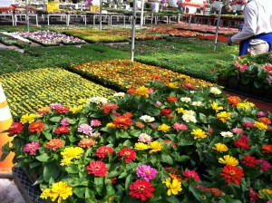 Flats of annuals are blooming!