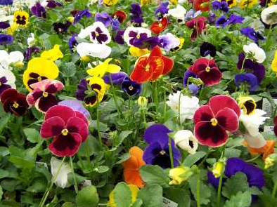 We're open and have Pansies!